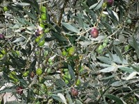 olives provence France walking tour